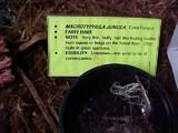 Macrotyphula juncea image