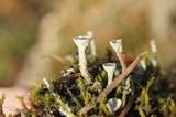 Cladonia pyxidata image