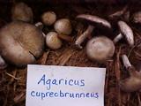 Agaricus cupreobrunneus image
