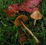Conocybe siliginea image