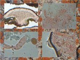 Caloplaca ferruginea image