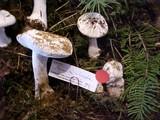 Amanita silvicola image