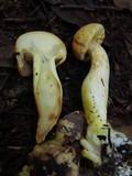 Phaeocollybia ochraceocana image