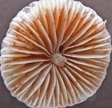 Mycena atroalboides image
