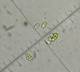 Hemimycena delectabilis image