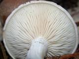 Clitopilus prunulus image