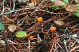 Mycena strobilinoidea image