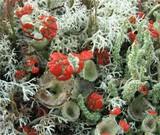 Cladonia coccifera image