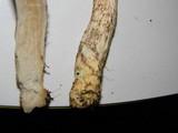 Leccinum schistophilum image