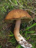 Boletus fibrillosus image