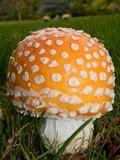Amanita muscaria var. formosa image