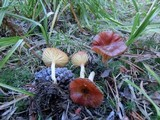 Hygrophorus siccipes image