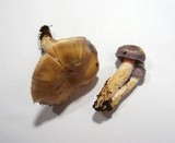 Cortinarius croceocaeruleus image