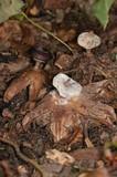 Geastrum striatum image