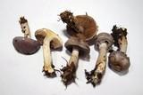 Cortinarius salor image