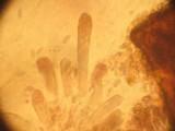 Suillus brunnescens image