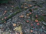 Amanita muscaria subsp. muscaria image