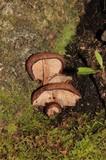 Melanoleuca yucatanensis image