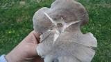 Tricholoma terreum image