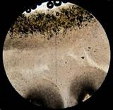 Hygrophorus chrysodon image