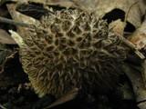Lycoperdon echinatum image