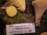 Clavariadelphus truncatus image
