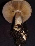 Cortinarius cacodes image