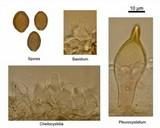 Panaeolus bisporus image