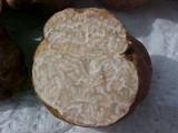 Terfezia arenaria image