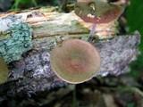 Gymnopus dichrous image