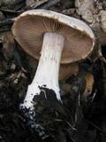 Cortinarius argenteopileatus image