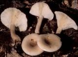Lactarius cinereus image