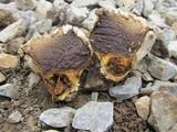 Calvatia fragilis image