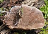 Trichaptum fumosoavellaneum image
