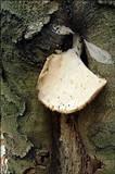 Pleurotus dryinus image