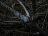 Aleurodiscus canadensis image