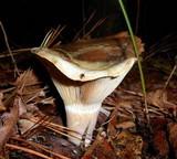 Lactarius pseudodeliciosus image