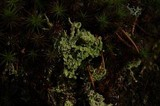 Cladonia squamosa image