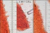 Tectella patellaris image