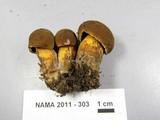 Boletus vermiculosus image