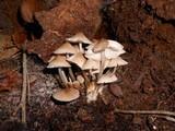 Mycena pseudoinclinata image