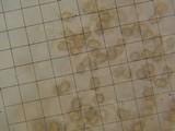 Inocybe stellatospora image