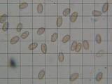 Hypholoma marginatum image