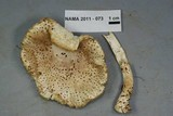 Amanita atkinsoniana image