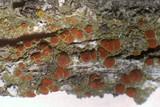 Caloplaca arizonica image
