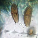 Buellia chloroleuca image