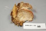 Lentinellus ursinus image