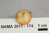 Russula operta image