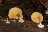 Gymnopilus sapineus image