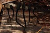 Trichoglossum hirsutum image
